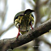 Of nesting shift duties and Coppersmith Barbets (Part 3)