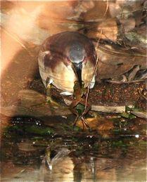 von Schrenck's Bittern takes a frog