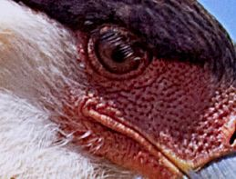 Eyelashes of the Crested Caracara