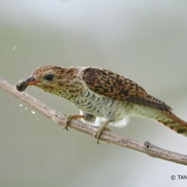 Plaintive Cuckoo handling caterpillars