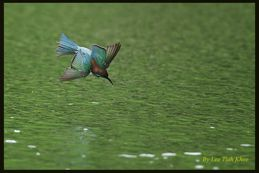 Bee-eater catching fish in lake?