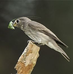 Flycatcher eats grasshopper: Photographic evidence