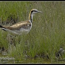 Pheasant-tailed Jacana at Sungei Buloh