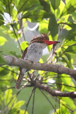Nesting of the Banded Kingfisher