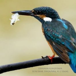 Common Kingfisher handling fish