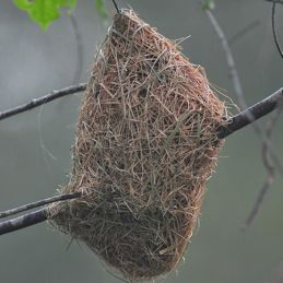 An odd-looking weaver bird nest?
