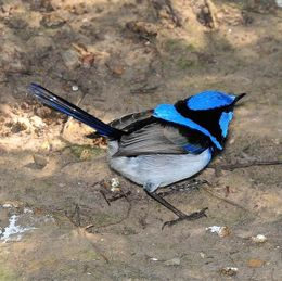 Promiscuity in birds