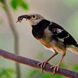 Black-collared Starling picks up earthworms