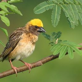 <strong>Baya Weavers: Nest building and after</strong>