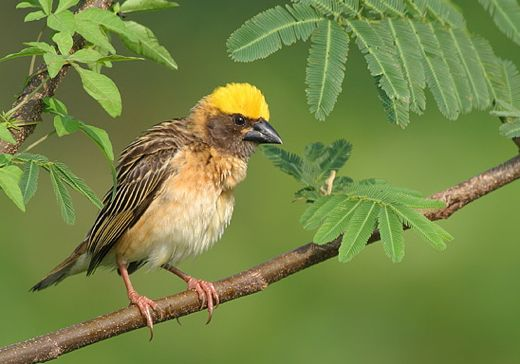 Sex and the Birds: 9. Polygyny and Baya Weavers