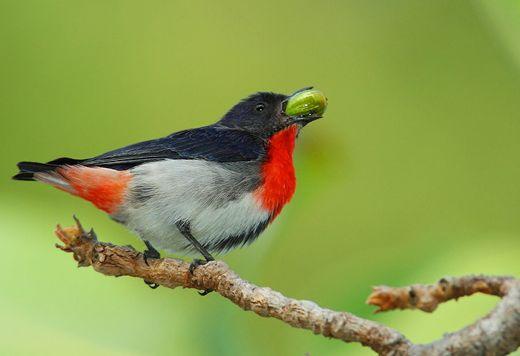 Mistletoebird of Australia