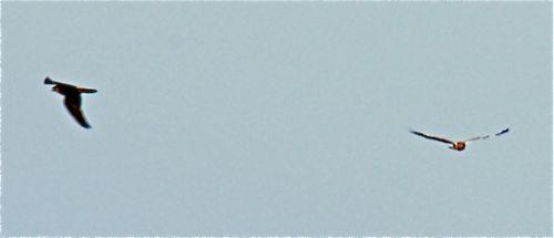 Peregrine Falcon mobs Western Marsh Harrier