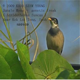 Cooperative breeding and Jungle Myna