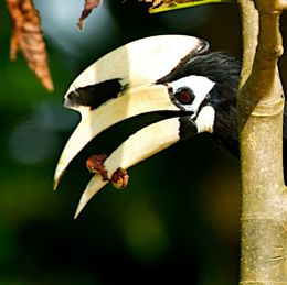 Oriental Pied Hornbill catches caterpillar