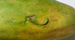 Mark of the Oriental Pied Hornbill on the papaya fruit