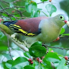 Thick-billed Green-pigeons feasting on figs