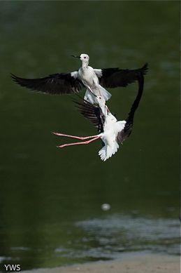 Black-winged Stilt in aerial combat