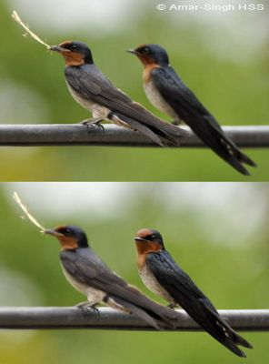 House (Pacific) Swallow collecting nesting material