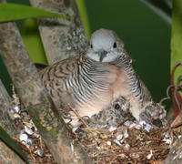 ZEBRA DOVES – 5. The chicks are about to fledge