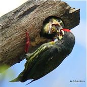 Of growing nestlings and Coppersmith Barbets (Part 8)