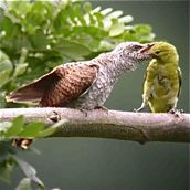 Juvenile Banded Bay Cuckoo fed by adult Common Iora