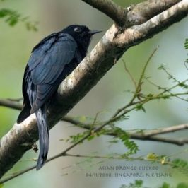 Drongo Cuckoo in Singapore