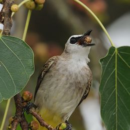Yellow-vented Bulbul swallows figs