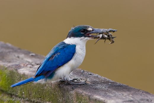 Collared Kingfisher handling a crab