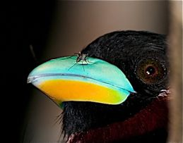 Black-and-red Broadbill and a mosquito