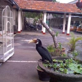 Narcondam Hornbill: Addendum