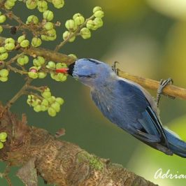 Velvet-fronted Nuthatch