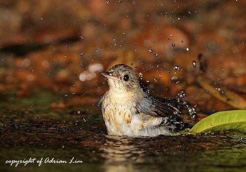 An encounter with a Siberian Blue Robin