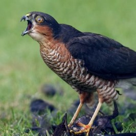 A sparrowhawk's kill