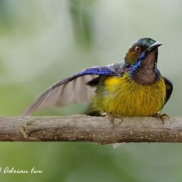 Brown-throated Sunbird drying after a bath