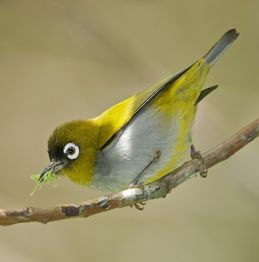 Black-capped White-eye
