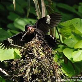 Dusky Broadbill builds a nest