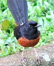 Urban encounter: White-rumped Shama