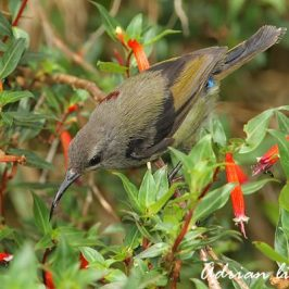 Moulting of a male Black-throated Sunbird