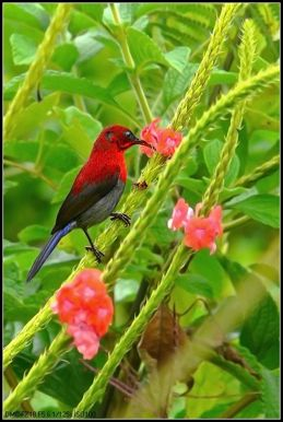 Crimson Sunbird taking nectar from snakeweed