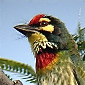 "Of ""toky"" calls and Coppersmith Barbets"