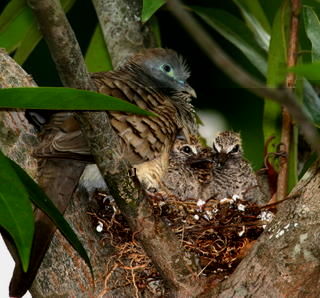 ZEBRA DOVES – 6. What happens to the third chick?