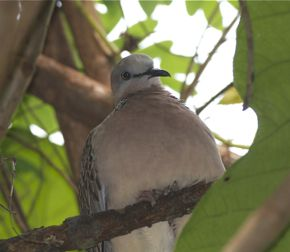 Feeding of Spotted dove: 12. Singing with bill closed?