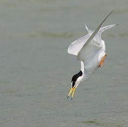 Little Tern hunting