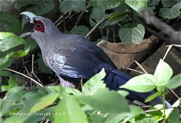 Green-billed Malkoha foraging on the ground