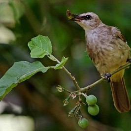 Yellow-vented Bulbul eating terong pipit