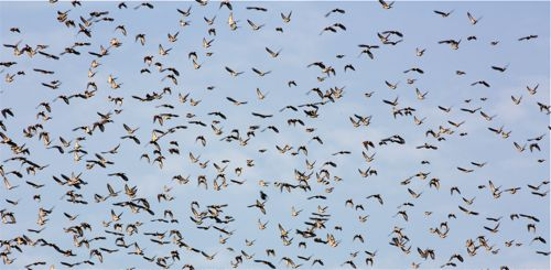 Flocking display by Purple-backed Starling