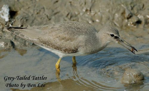 Grey-tailed Tattler at Sungei Buloh Wetland Reserve