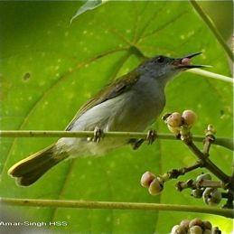 <em>Macaranga bancana</em> and sunbirds