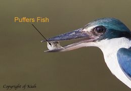 Collared Kingfisher eats pufferfish