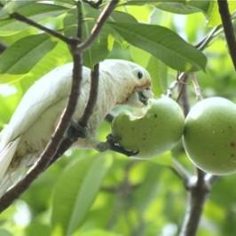 Tanimbar Corella's eating behaviour